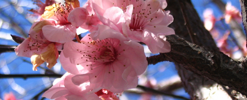 header-roze-bloesem